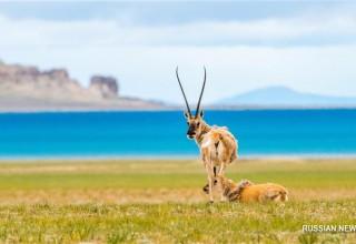 Китайских туристов оштрафовали за преследование тибетских антилоп