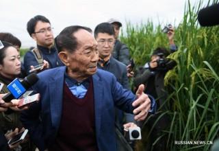 В Китае вывели новый сорт «гигантского» риса