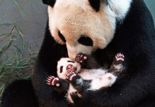 За год в Китае родилось рекордное количество больших панд