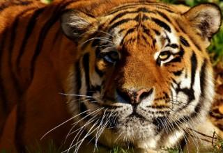 Тигр набросился на детей в китайской деревне