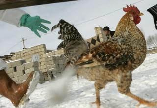 В Китае будут отслеживать происхождение курятины с помощью блокчейна