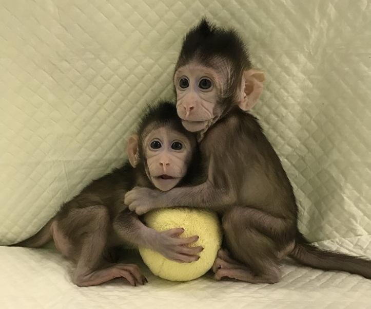 Китайцы впервые клонировали обезьян пометоду овечки Долли