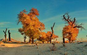 Ефратский тополь (туранга) в хушуне Эдзин-Ци, автономный район Внутренняя Монголия.