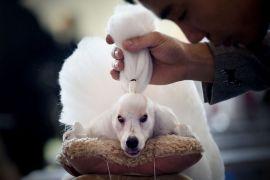 Мужчина приводит в порядок своего пуделя на Международной выставке домашних животных в Пекине.