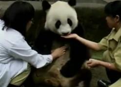 самая старая панда в Китае