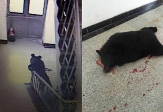 На севере-востоке Китая полиция застрелила проникшего в школу медведя