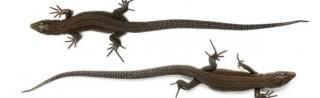 рептилии из маврикия