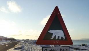 В Шпицбергене белые медведи - это обычное дело.