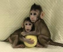клонирование приматов китай