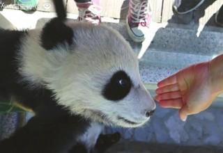Китаянка погладила детеныша панды, а в интернете ее раскритиковали