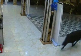 В Китае дикий кабан ворвался в караоке и распугал посетителей