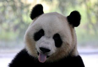 В гостях у панд: фото из китайского Нанкина
