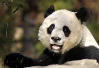 Панда Бэйбэй вернется из США на родину в Китай